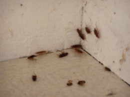 actualit besancon invasion de blattes dans le jura 25. Black Bedroom Furniture Sets. Home Design Ideas